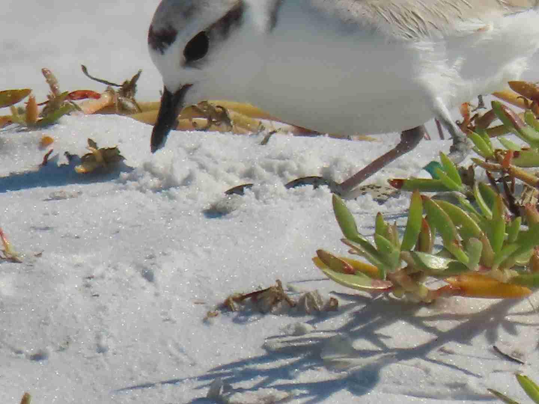 Snowey Plover making nest